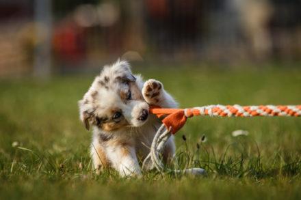 Psí fotograf Radek Vandra Photography - Fotografování psů - Štěňata